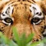 fenghui tiger